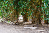 Fototapeta Bambus - Asian garden, walking path made of big stones and diverse bamboo plants © Jaap