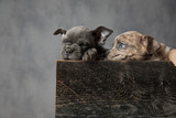 two cute american bully puppies resting in a wooden box