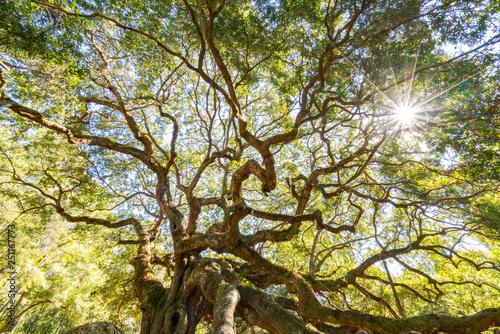 Angel Oak Live Oak Tree - 251167773