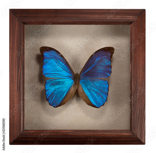 Butterfly Morpho menelaus in frame isolated  on white background - 251168580