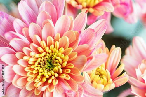 Close up background of pink and yellow chrysanthemum flower, macro - 251173359