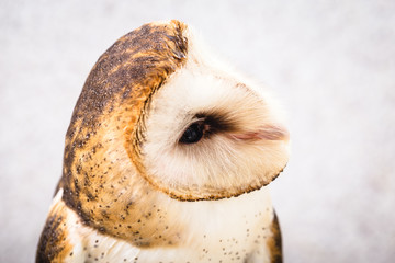 The most common owl species in the world. High resolution photo of an owl.
