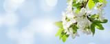 Fototapeta Na sufit - Apple blossom spring tree © karandaev