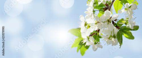 Leinwandbild Motiv Apple blossom spring tree