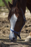 horse, tier, braun, bauernhof, kopf, einhufer, portrait, hengst, natur, säugetier, ponies, mähne, stute, horsey, schön, gras, horse, feld, ohr, weiß, green, gesicht, wiese, schönheit, bauernhof