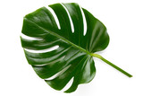 Tropical Jungle Leaf, Monstera, resting on flat surface, isolated on white background.