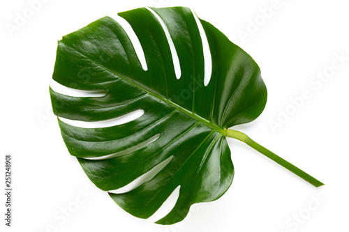 Tropical Jungle Leaf, Monstera, resting on flat surface, isolated on white background. © gitusik