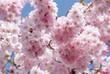 Leinwanddruck Bild - Japanische Bluetenkirsche (Prunus serrulata)