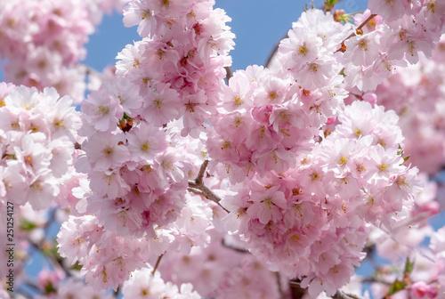 Leinwanddruck Bild Japanische Bluetenkirsche (Prunus serrulata)