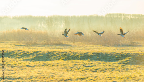 obraz PCV Geese flying over nature in sunlight at sunrise in winter