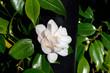 single gardenia flower