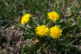 Spring in May, insects pollinate yellow dandelions or chrysanthemum in the garden