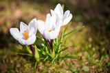 Piękne krokusy w wiosennym ogrodzie