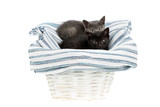 Two adorable one and a half months old kittens, a grey and a black one, on a rag carpet in a white basket, isolated on white. Studio shot of cute baby cat siblings