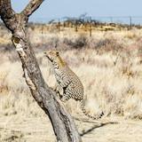Lampart, Namibia