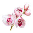 pale pink orchid flowers isolated on white background