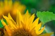 Flower sunflower bright bloom.