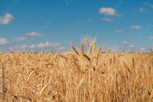 Golden wheat field on blue sky background