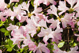Pink and White Colored Azalea Flowers in Bloom