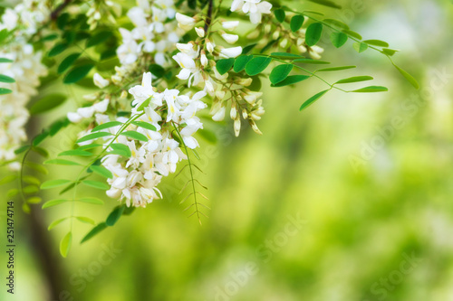Leinwandbild Motiv Blooming acacia background
