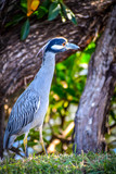 A Yellow-Crowned Night Heron in Key Largo, Florida