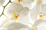white orchid flowers, macro