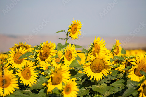 Sunflower field yellow