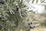 Branch of olive tree with lot of black olives on it