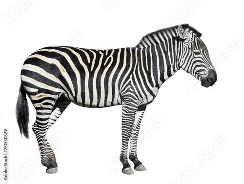 Young beautiful zebra isolated on white background. - 251530529