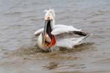 Dalmatian pelican (Pelecanus crispus) Wildlife in natural habitat