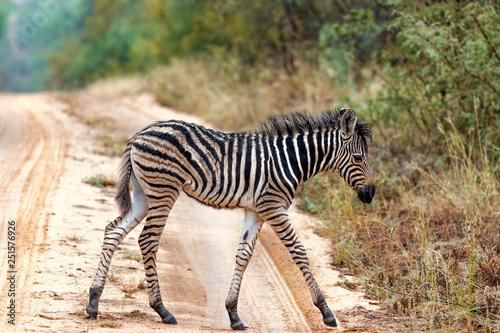 Junges Zebra auf einer Straße in Südafrika - 251576926