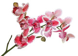 three petals red orchid flowers lush branch