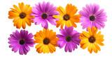 Osteospermum Daisy or Cape Daisy Flower Flower Isolated
