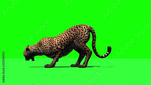 Cheetah jumps into the picture - attacks and eats - isolated on green screen