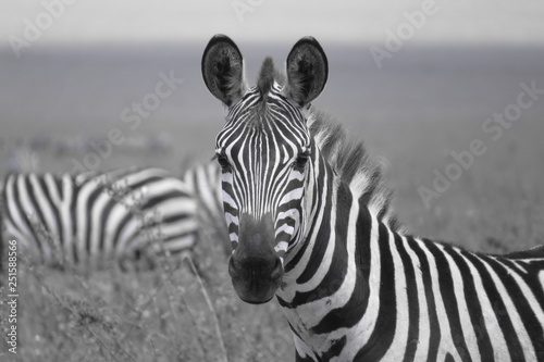 Zebra - 251588566