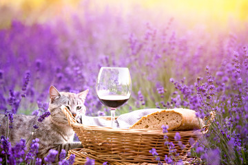 Wild cat is sitting in lavender field. Harvesting of lavender. Fresh bread, vine and aromatic flowers.