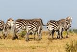 Zebras walking in Masai Mara savanna
