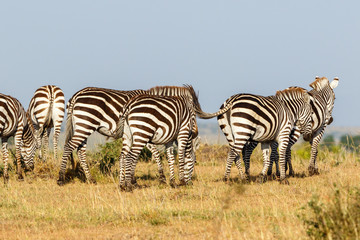 Zebras walking in Masai Mara savanna