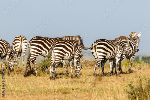 Zebras walking in Masai Mara savanna © Lars Johansson