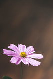 Single bright pastel daisy margarita flower petal in full blossom close up details isolated background in elegant muted colours