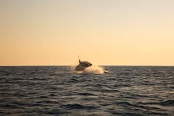 Australia whale in queensland whitsundays © Francis
