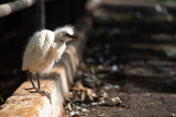 Fluffy young egret learning first steps
