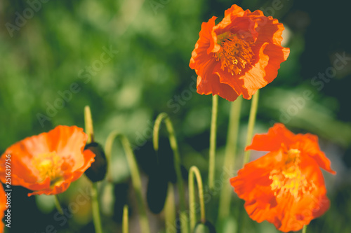 The great Turkish Papaver orientale in sunlight.The Oriental poppy ,Papaver orientale. Garden under sun light. Botany concept. - 251639756