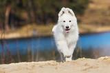 active white swiss shepherd puppy on the beach