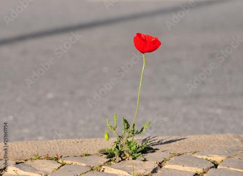 Poppy flower on the asphalt road - 251661954