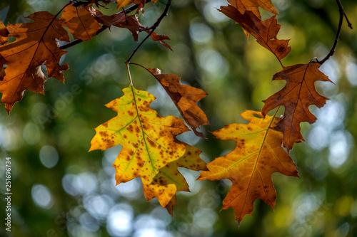 Leinwanddruck Bild Zweige mit herstlichen Eichenblaettern