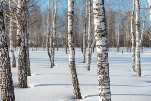 Trees in the winter forest. Winter forest. Winter landscape.