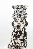 Sitting Dalmatian dog with big black and white hat on his head on white background portrait