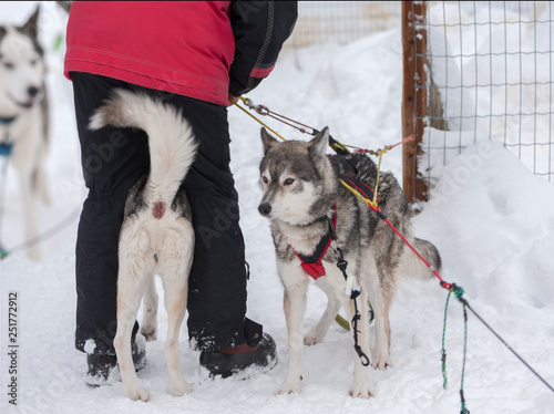 mata magnetyczna beautiful Husky dogs used for sledding