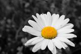 Macro photo of a Daisy Flower, portrait, close up. Folgaria, Trento, Italy. August 2018